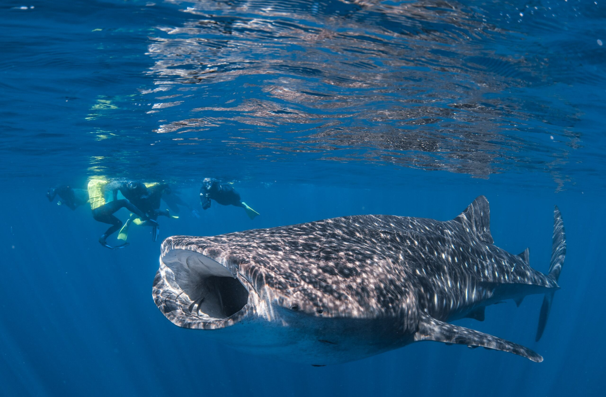 Google Agent of Whale Shark Adventure Swims Exmouth  (no observer)