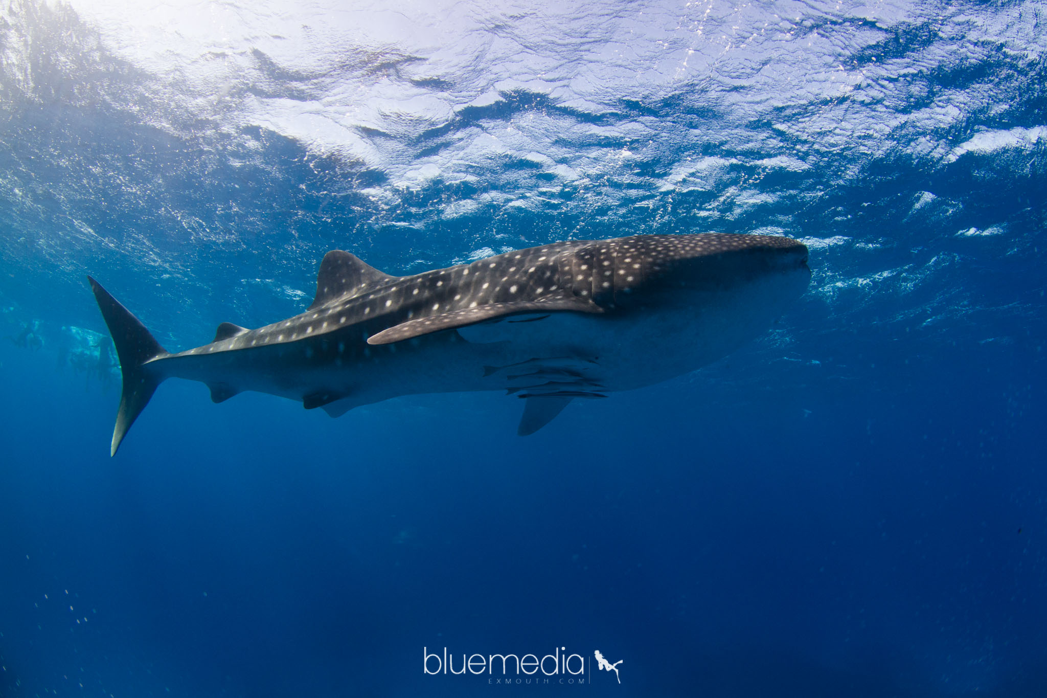 Whale Sharks or Humpback Whales -  Eco Tours
