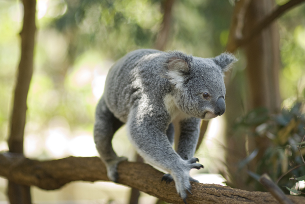 02  Koala & River Cruise - ONE WAY CRUISE to Lone Pine ENTRY INCLUDED