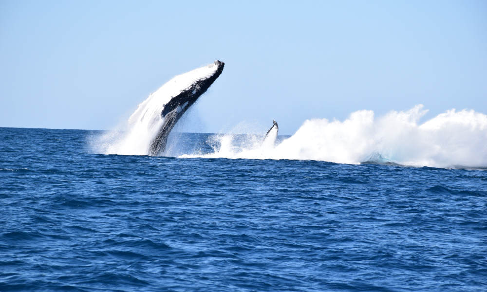Whale Watching Jet Boat Adventure from Noosa