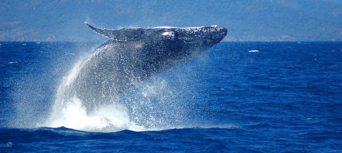 Whale Watch Cruises from Cairns