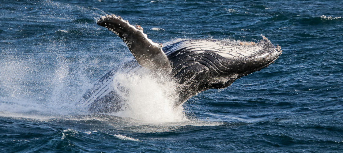 Whale Watching Cruise from Surfers Paradise