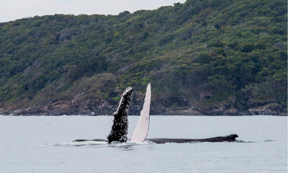 Whale Watching Adventure Cruise from Noosa