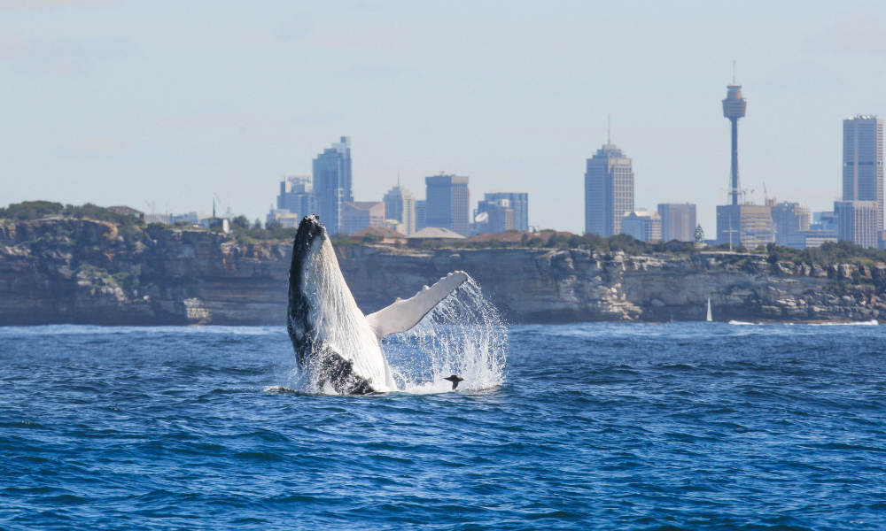 Sydney 3 Hour Whale Watching Discovery Cruise