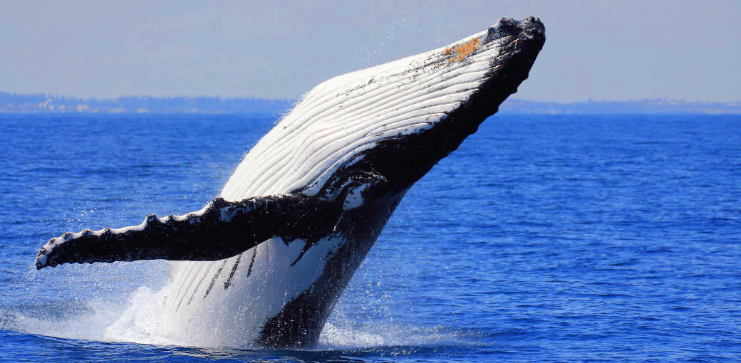 Brisbane Whale Watching Tour with Lunch and Brisbane Transfers