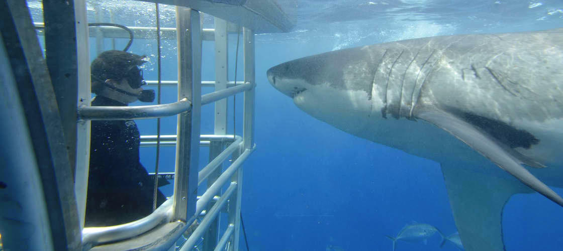 Cage Dive with Great White Sharks at Port Lincoln