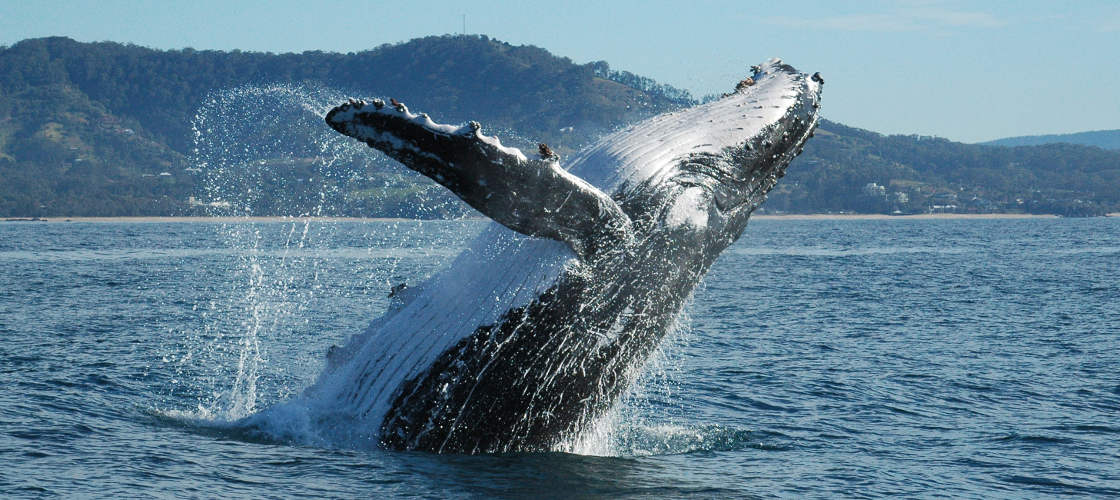 Coffs Harbour Whale Watching Tour - 2 Hours