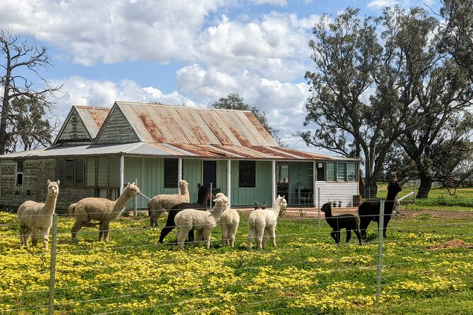Alpaca Meet and Greet Experience in Tomingley