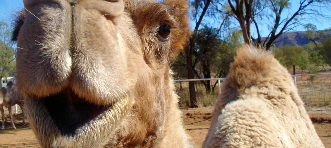 Alice Springs Afternoon Camel Ride