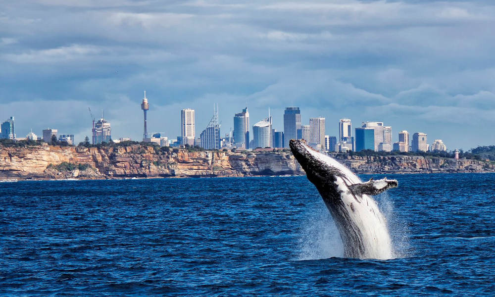 Sydney Whale Watching Cruise with BBQ Lunch